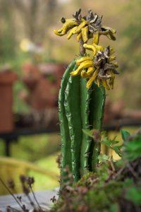 CeramiCactus cactus fiori gialli - Zanellazine